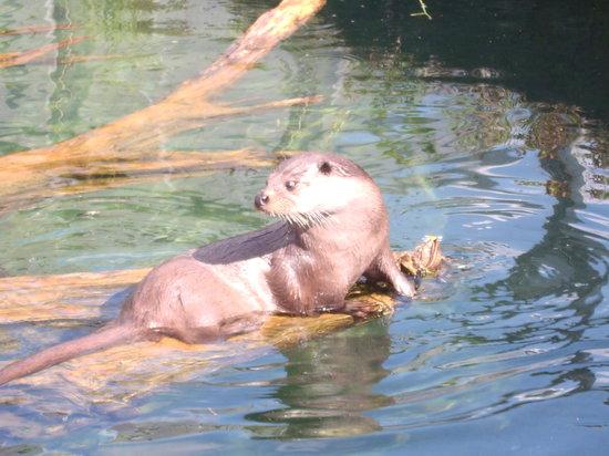 Silkeborg, Denemarken: Otter Feeding