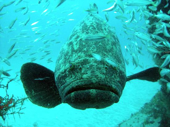 Jupiter Dive Center: Grouper