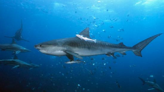 Durban, South Africa: Tiger Shark