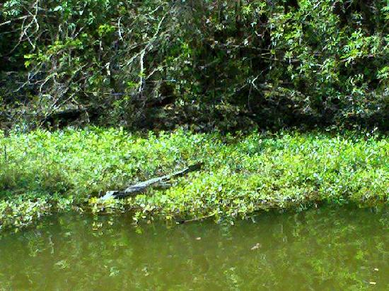 Bayou Segnette State Park: Alligator