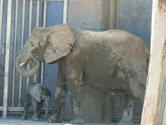 Tiergarten Schoenbrunn - Zoo Vienna : Tuluba, der kleine Elefant