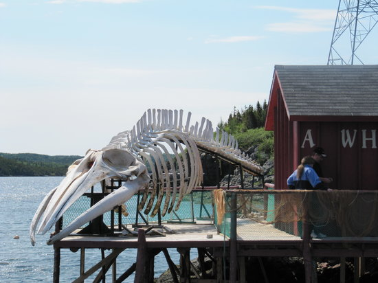 Twillingate, Kanada: Sei Whale Skeleton (good story)
