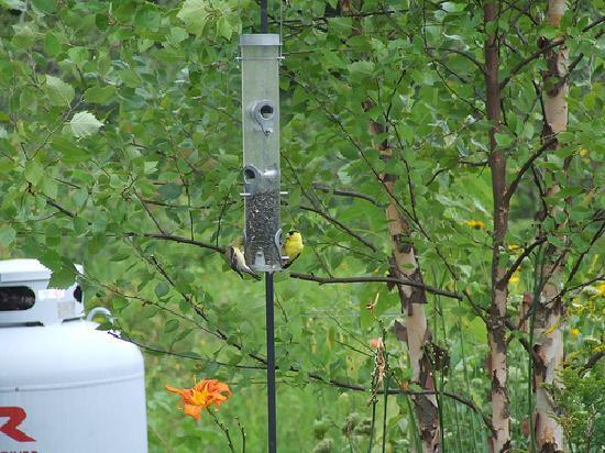 Pond House: Goldfinches at feeder