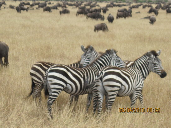 Serengeti National Park, แทนซาเนีย: Range of beautiful animals inches away