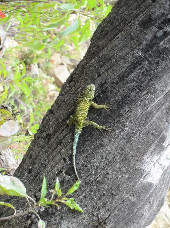 Провинция Сан-Хосе, Коста-Рика: Gecko beim Aufstieg
