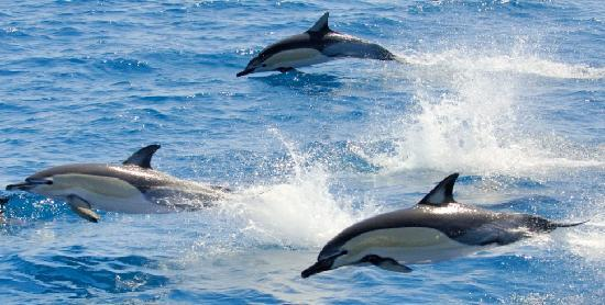 Tauranga, Yeni Zelanda: Common Dolphins, Bay of Plenty