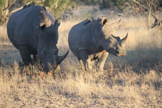 Singita Boulders Lodge: Rhinos