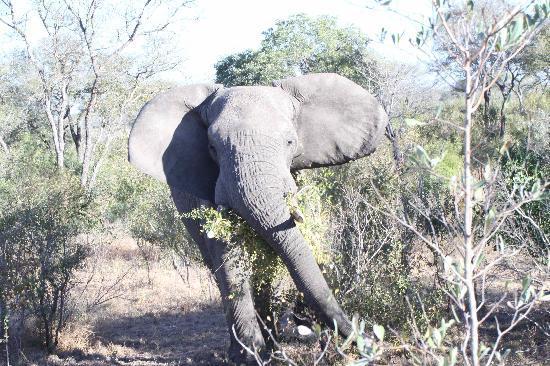 Singita Boulders Lodge: Charging Elephant