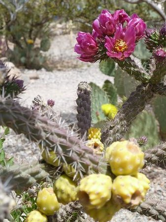 Boothilll Graveyard : Blooming Cholla Cactus, Boot Hill Graveyard