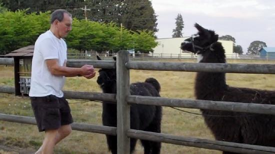 Scappoose Creek Inn: Feeding llamas is a good way to start the day!