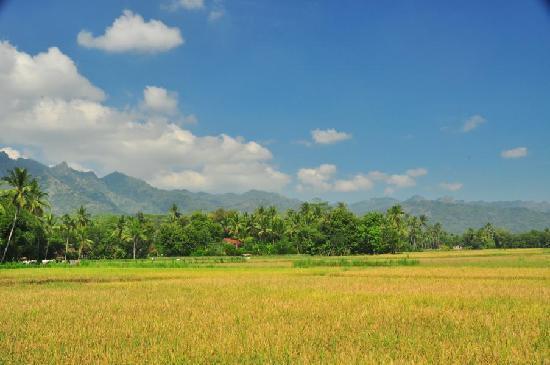 Hotel Rajasa : Rice paddies around the hotel