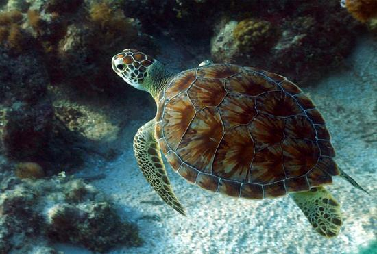 Windsong Resort: Green Turtle