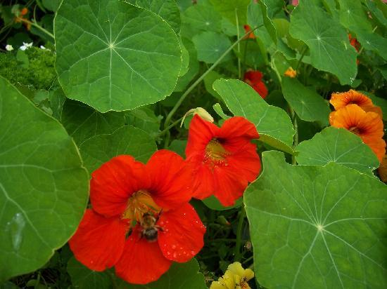 The Hall Green : Nasturtiums in the front yard