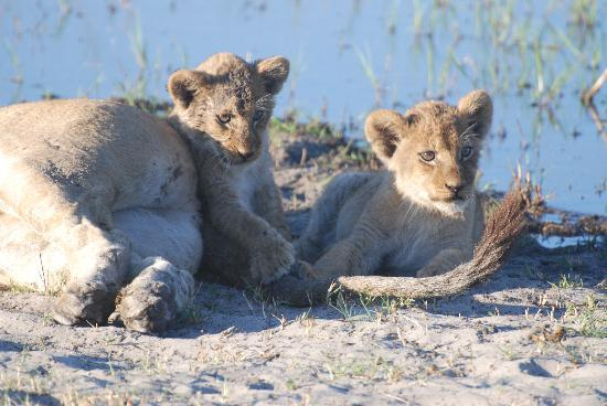Okavango Delta: Lioness with cubs