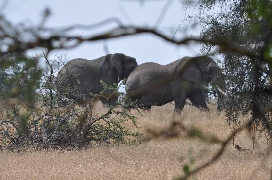 Porini Mara Camp: Elephants from the verandah