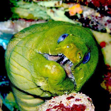Ocean Encounters Diving: Friendly Green Moray Eel
