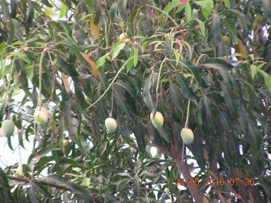 Jaisamand Island Resort: The mango tree....!