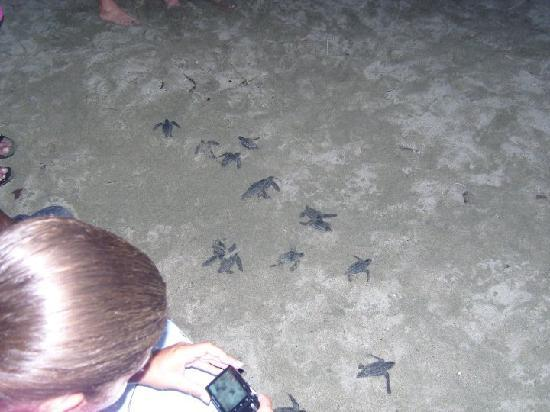 Turtle Beach by Rex Resorts: Baby Turtles...Just Hatched!