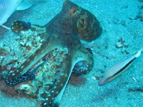 Eco Divers Dahab: Octopus