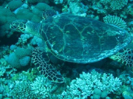 Eco Divers Dahab: Turtle