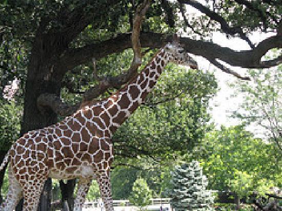 Henry Doorly Zoo Giraffe & white alligator - Picture of Henry Doorly Zoo Omaha - TripAdvisor pezcame.com