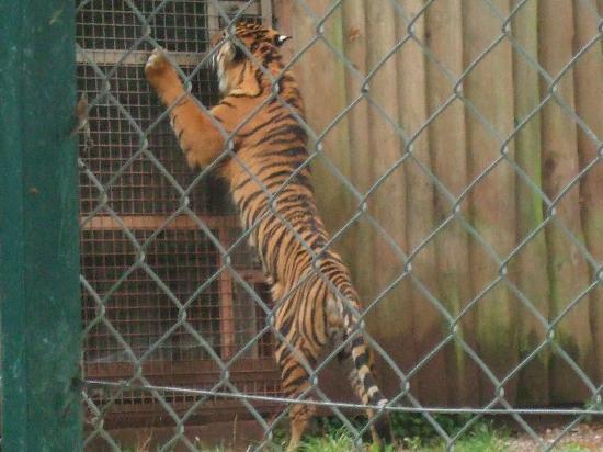 Paignton, UK: The Tigers