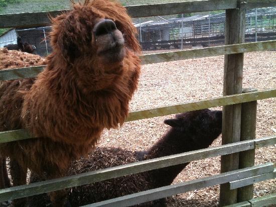 Ostrich Kingdom Sodegaura Farm : 人気のアルパカ