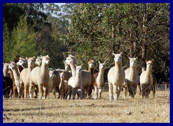 Rolling Hills Alpacas