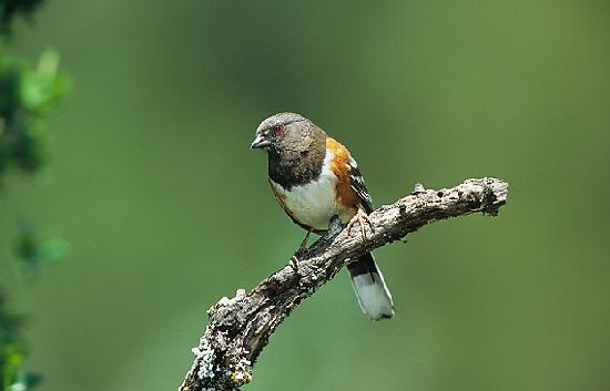 Doss, TX: Western Spotted Towhee's return for the winter in October