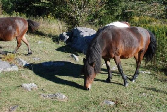 Wild horses at Grayson Highlands State Park