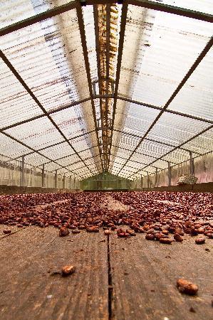 El Sendero del Cacao: secando el cacao