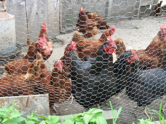 Blueberry Farm Bed & Breakfast: These are the chickens that they raise and get fresh eggs from in the morning