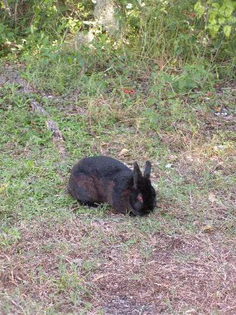 Indian Shell Mound Park: Tame black rabbit