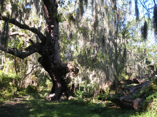 Indian Shell Mound Park: Oak with spanish moss