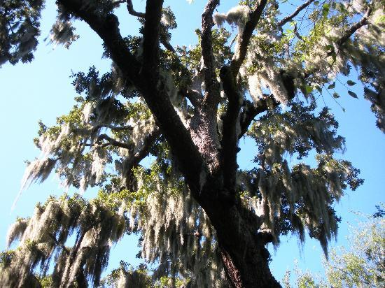 Indian Shell Mound Park: More Spanish Moss