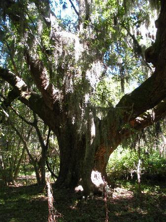 Dauphin Island, อลาบาม่า: More Oaks with spanish moss