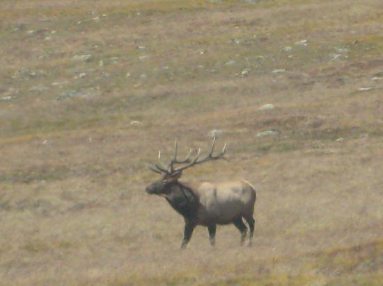 Rocky Mountain National Park, CO: Bull Elk