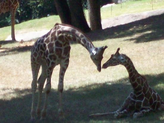 North Carolina Zoo: Kissing giraffes