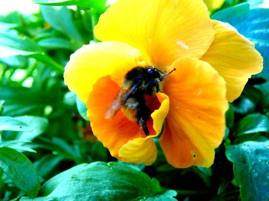 The Butchart Gardens: Busy Bee
