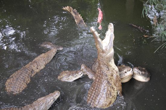 Ilala Lodge: Croc Farm - Feeding Time