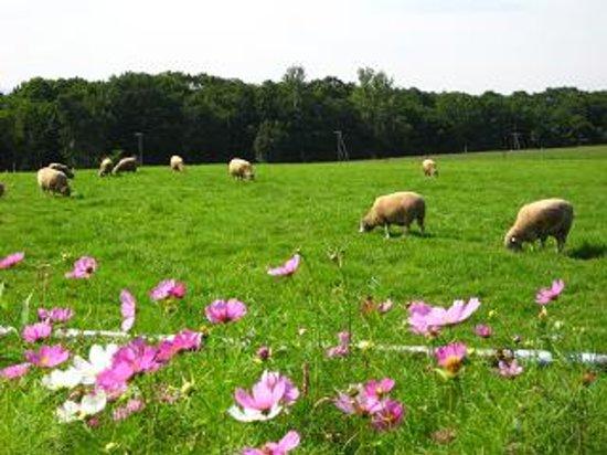 Sapporo, Giappone: 羊とコスモス