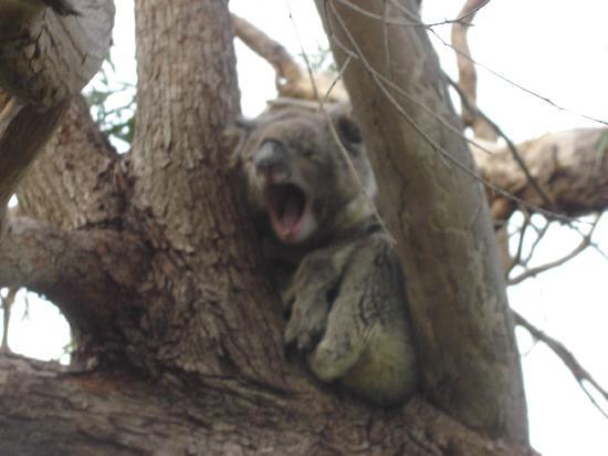 Wilderness Wanders Adventure Tours: Cute and cuddly Koalas
