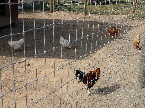 Chickens at Barnyard Buddies at Milburn Orchards