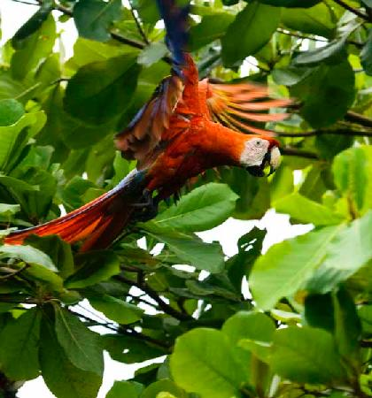 Punta Marenco Lodge: This macaw ate cashews from a tree in front of our cabin.