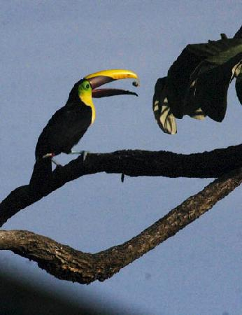 Punta Marenco Lodge: Toucans were a morning treat.
