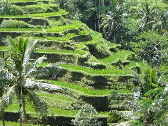 Kuta, Indonesia: Stunning Rice Fields