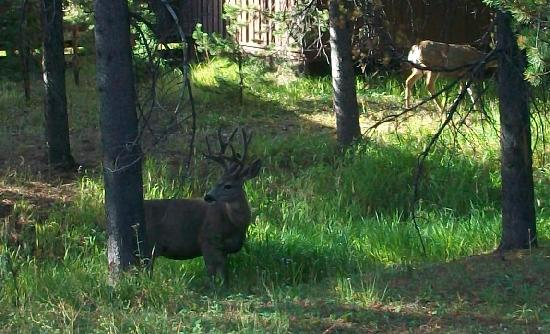 Mammoth Hot Springs Hotel & Cabins: Deer by the cabin