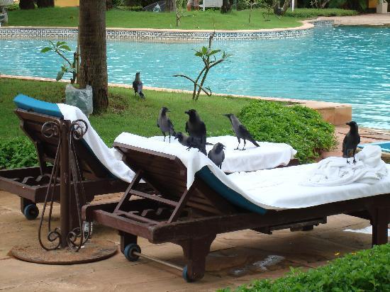Taj Exotica Goa: Poolside with crows