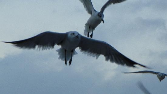 The Spinnaker: Hungry Seagulls