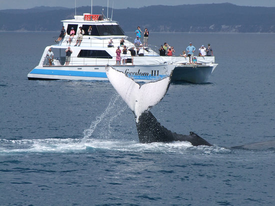 Freedom Whale Watch: Whales play in Hervey Bay